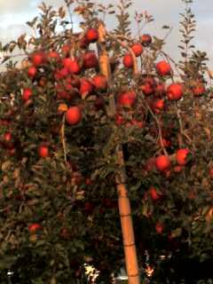 たわわに実る林檎の木